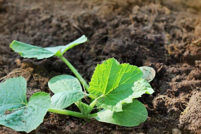 How-To-Grow-Zucchini-on-A-Trellis-Maintain-A-Steady-Grow