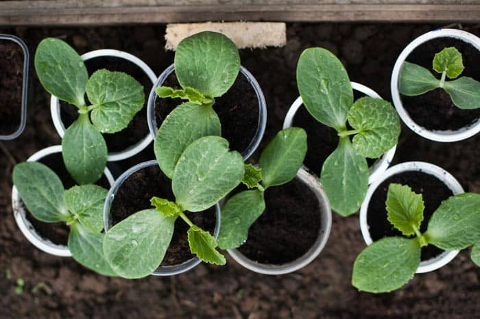 How-To-Grow-Zucchini-on-A-Trellis-What-Kind-Of-Soil-Is-Grow-From-Seed