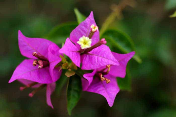 how-to-grow-bougainvillea-1