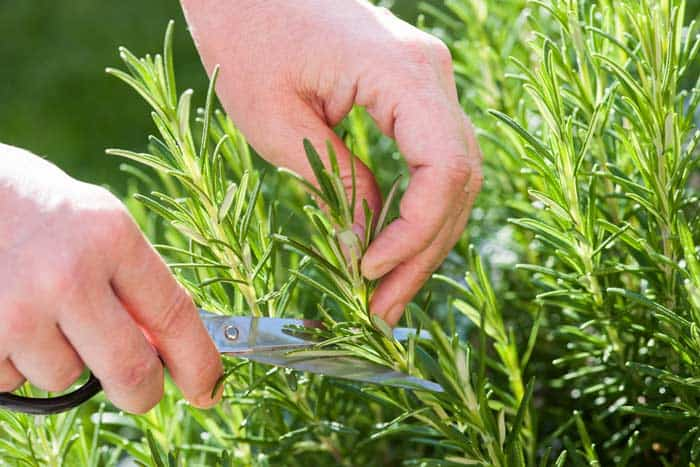 So, How To Harvest Rosemary?