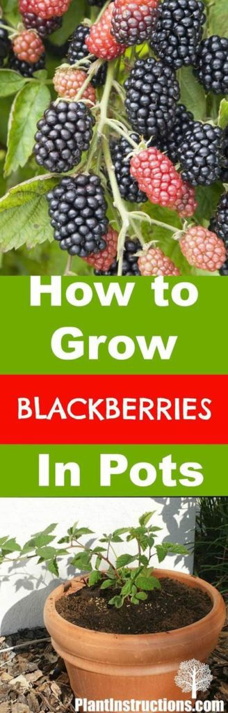 10-fruits-to-grow-in-pots-Blackberries