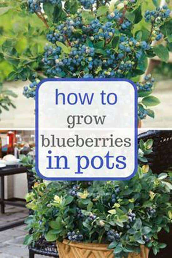 10-fruits-to-grow-in-pots-Blueberries