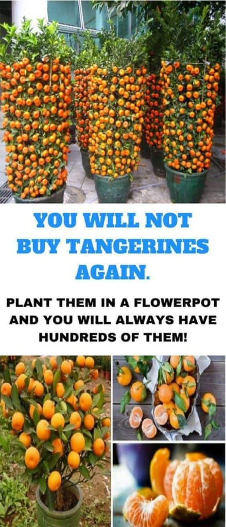 10-fruits-to-grow-in-pots-Tangerine