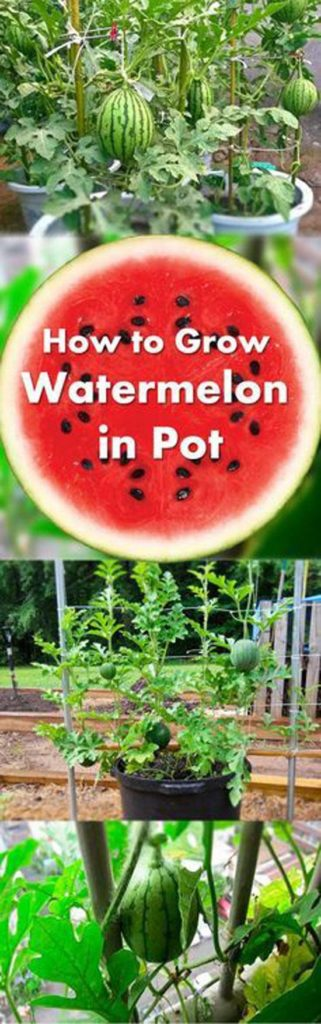 10-fruits-to-grow-in-pots-Watermelon