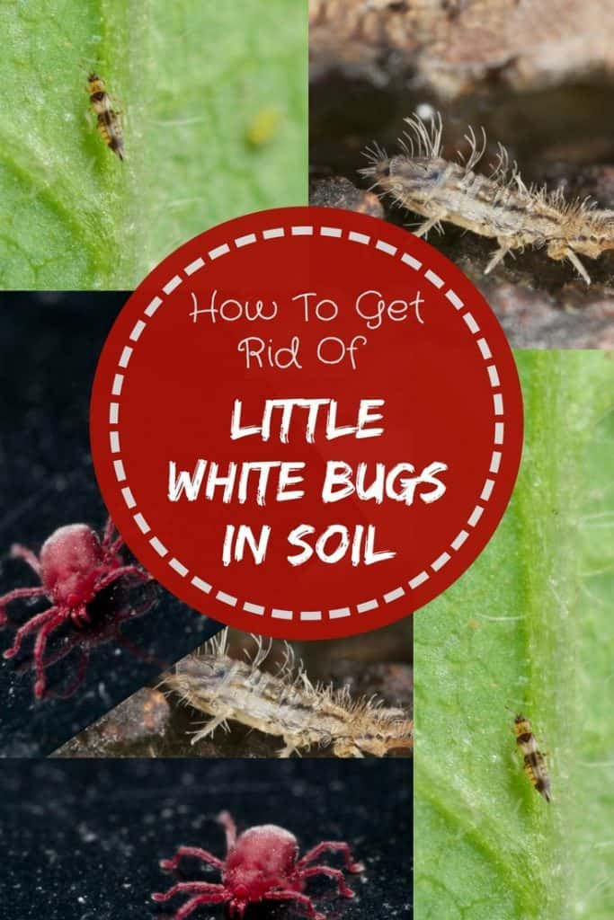 How-To-Get-Rid-Of-Little-White-Bugs-In-Soil-2