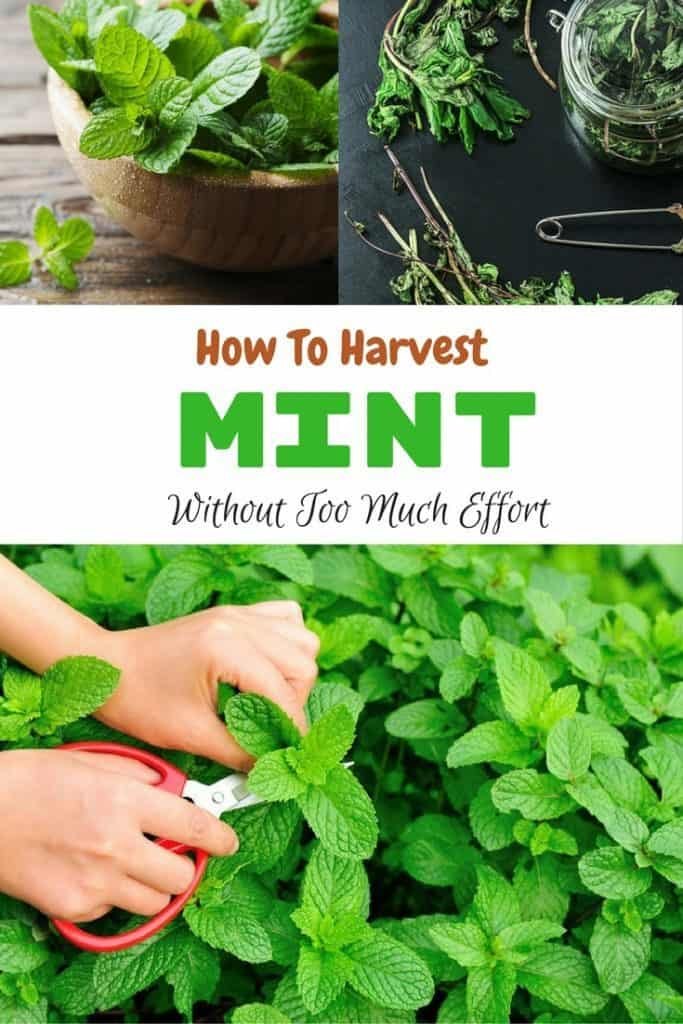 How-To-Harvest-Mint-1