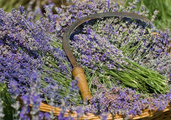 how-to-grow-lavender-from-seed-Harvesting