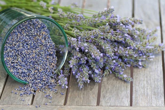 how-to-grow-lavender-from-seed-How-To-Start-The-Seeds