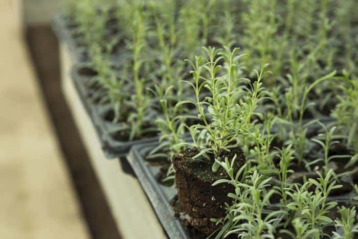 how-to-grow-lavender-from-seed-Lavender-in-pots