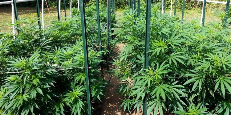 How to Grow Marijuana Outdoors: Growing Marijuana Outdoors Beginner's Guide