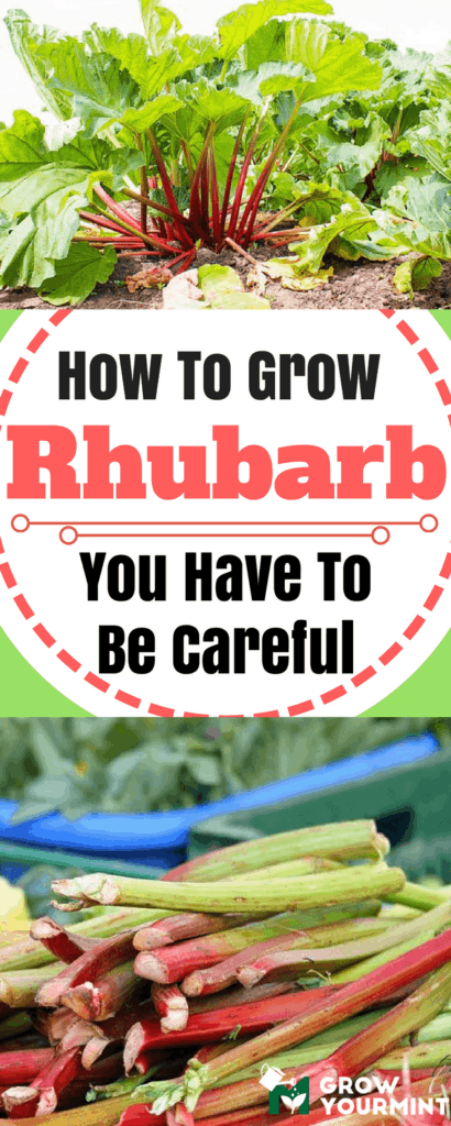 how-to-grow-rhubarb-1