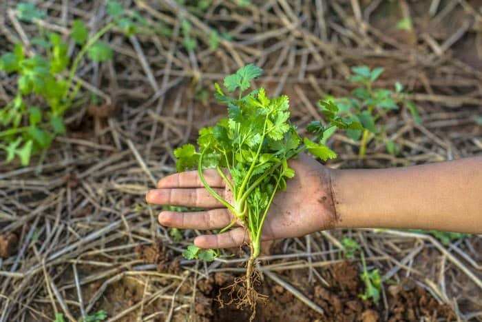 how-to-harvest-cilantro-when-to-harvest