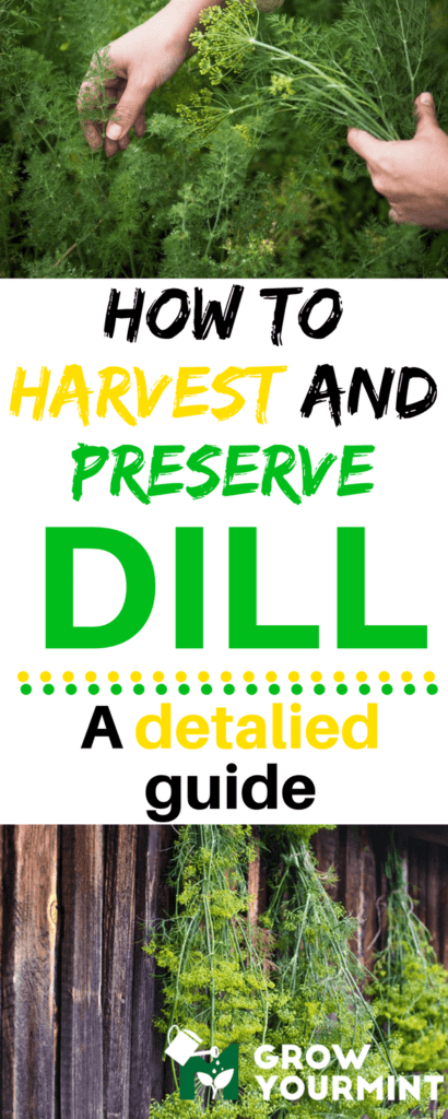 how-to-harvest-dill