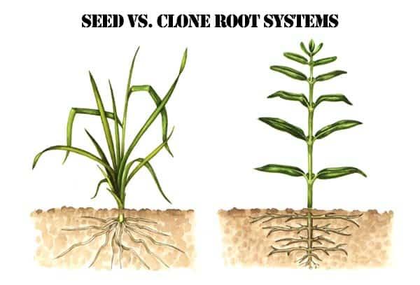clone vs seed